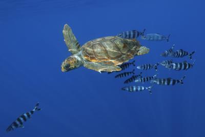 Loggerhead Turtle (Caretta Caretta) with a Shoal of Pilot Fish, Pico, Azores, Portugal, June by Lundgren
