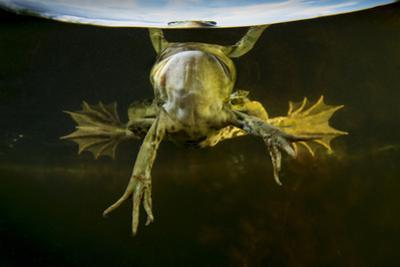 Pool Frog (Pelophylax Lessonae) Split Level View, Near Crisan Village, Danube Delta, Romania, June by Lundgren