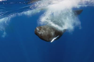 Sperm Whale (Physeter Macrocephalus) Diving, Pico, Azores, Portugal, June 2009 by Lundgren