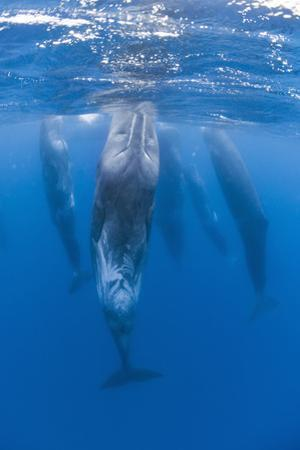Sperm Whales (Physeter Macrocephalus) Resting, Pico, Azores, Portugal, June 2009 by Lundgren