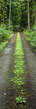 Lush Foliage Lining a Wet Driveway, Bainbridge Island, Washington, USA