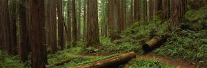 Lush Forest with Path, Jedediah Smith State Park, California, USA