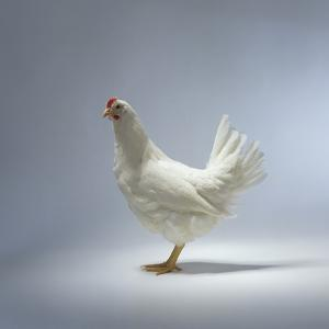 White Chicken by Luzia Ellert