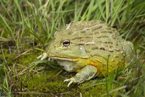 African Bullfrog (Pyxicephalus Adspersus) by Lynn M. Stone