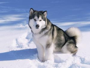 Alaskan Malamute Dog, in Snow, USA by Lynn M^ Stone