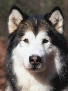 Alaskan Malamute Dog Portrait, Illinois, USA by Lynn M. Stone