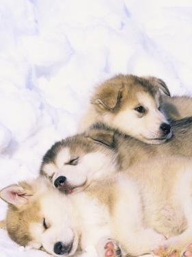 Alaskan Malamute Puppies in the Snow by Lynn M. Stone