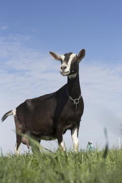 Alpine Goat (A Dairy Breed) Doe in Pasture, Poplar Grove, Illinois, USA by Lynn M. Stone