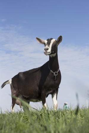 Alpine Goat (A Dairy Breed) Doe in Pasture, Poplar Grove, Illinois, USA