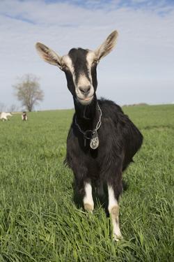 Alpine Goat (Dairy Breed), Poplar Grove, Illinois, USA by Lynn M. Stone