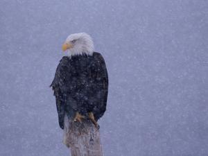 American Bald Eagle in Snow, Alaska by Lynn M. Stone