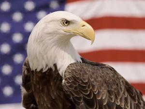 American Bald Eagle Portrait Against USA Flag by Lynn M^ Stone