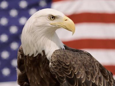 American Bald Eagle Portrait Against USA Flag by Lynn M. Stone