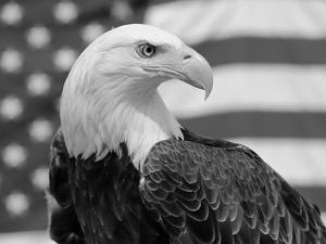 American Bald Eagle Portrait Against USA Flag by Lynn M. Stone