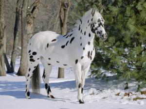 Appaloosa Horse in Snow, Illinois, USA by Lynn M. Stone