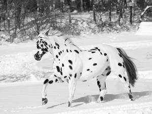 Appaloosa Horse Trotting Through Snow, USA by Lynn M. Stone