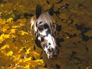 Appaloosa Portrait in Maple Leaves, Illinois by Lynn M. Stone