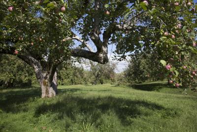 Apple Orchard by Lynn M. Stone