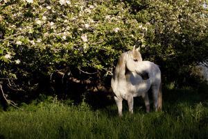 Arabian Horse by Apple Tree in Early Evening Light, Fort Bragg, California by Lynn M. Stone