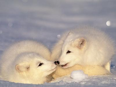 Arctic Fox Pups by Lynn M. Stone