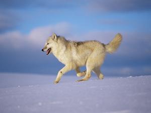 Arctic Grey Wolf, Running Through Snow, USA by Lynn M. Stone