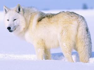 Arctic Wolf, Canis Lupus Arctos by Lynn M. Stone