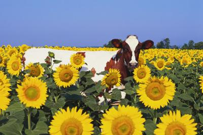 Ayrshire Cow Standing in Field of Sunflowers, Pecatonica, Illinois, USA by Lynn M. Stone