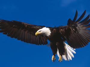 Bald Eagle in Flight by Lynn M. Stone