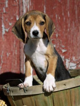 Beagle Dog Puppy by Lynn M. Stone
