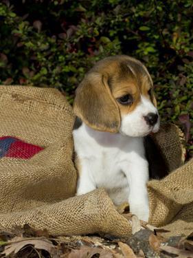 Beagle Hound Puppy by Lynn M. Stone