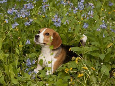 Beagle Hound by Lynn M. Stone