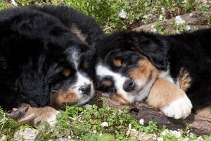 Bernese Mountain Dog Pups (Two) by Lynn M. Stone