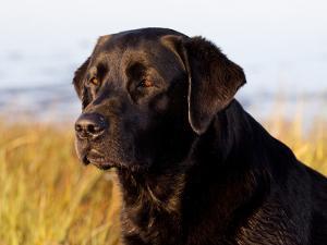 Black Labrador Retriever, Portrait by Lynn M. Stone