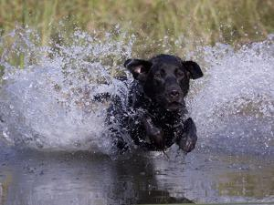 Black Labrador Retriever Water Enry by Lynn M. Stone