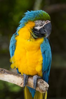 Blue and Gold Macaw (Ara Ararauna) Captive, R- Panama and South Venezuela by Lynn M. Stone