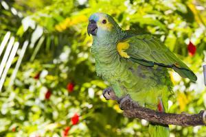 Blue-Fronted Amazon Parrot (Amazona Aestiva) by Lynn M. Stone