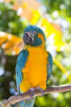Blue-Throated Macaw (Ara Glaucogularis) by Lynn M. Stone