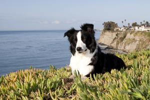 Border Collie in Ice Plant on Bluff Overlooking Pacific Ocean, Southern California, USA by Lynn M. Stone