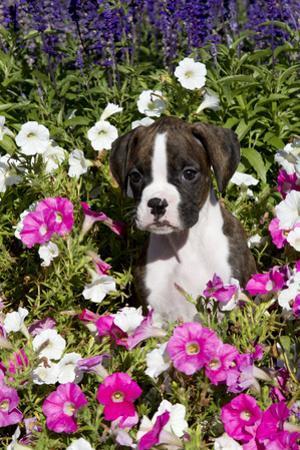 Boxer Pup in Petunias, Geneva, Illinois, USA by Lynn M. Stone