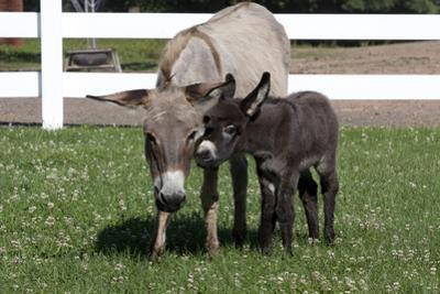 Brown Donkey Mare (Jenny) with Dark Foal in Clover and Grass, Middletown, Connecticut, USA by Lynn M. Stone