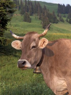 Brown Swiss Cow, Switzerland by Lynn M. Stone