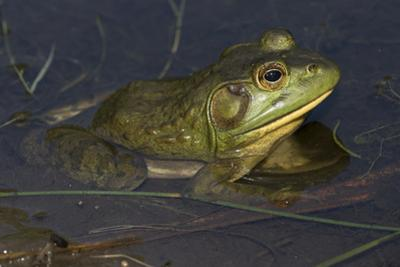 Bullfrog by Lynn M. Stone