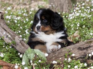 Burmese Mountain Dog Puppy in Wildflowers, Illinois by Lynn M. Stone