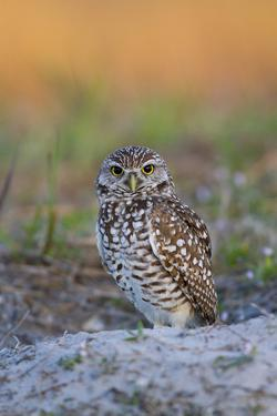 Burrowing Owl (Athene Cunicularia) at Burrow in Sandy Soil by Lynn M^ Stone