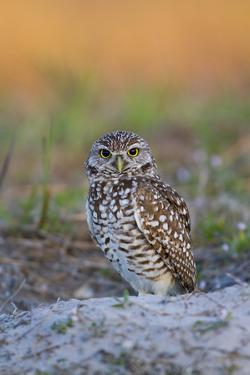 Burrowing Owl (Athene Cunicularia) at Burrow in Sandy Soil by Lynn M. Stone
