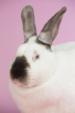 Californian Rabbit by Lynn M. Stone