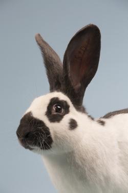 Checkered Giant Rabbit by Lynn M. Stone