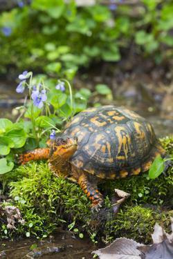 Colorful Male Eastern Box Turtle (Terrapene Carolina Carolina) by Lynn M. Stone
