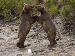 """Dancing"" Grizzly Bears, Alaska by Lynn M. Stone"