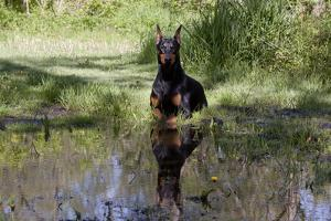 Doberman Pincher Lying in Green Grass and Reflecting into Rain Pool, St. Charles, Illinois USA by Lynn M. Stone
